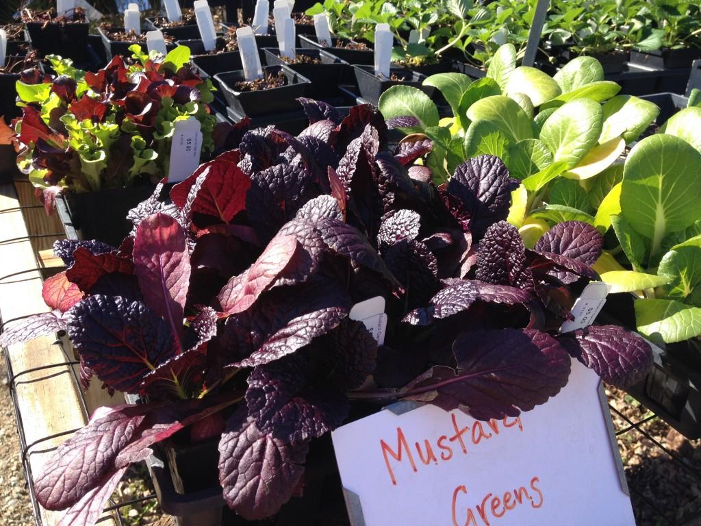 Red Mustard Greens - http://marisamoore.com
