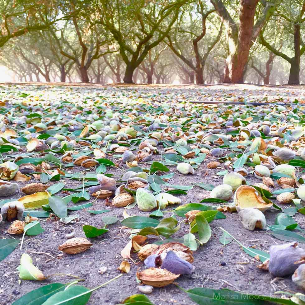 How Almonds Grow